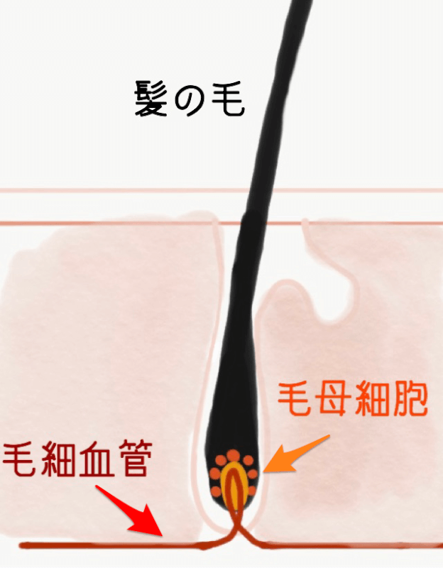 髪 毛細血管 毛母細胞 図